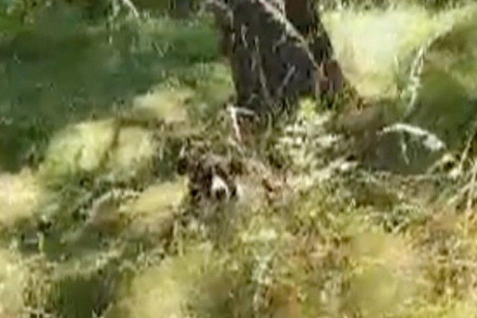 Klaipėdoje prie medžio pririštas šuo paliktas mirti badu (nuotr. stop kadras)