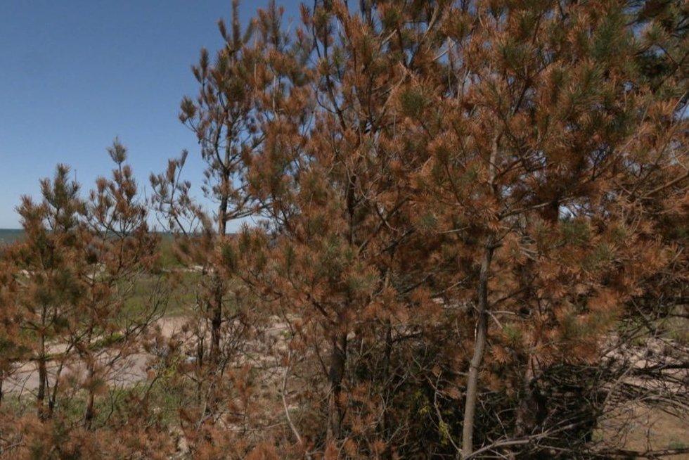 Bėdos pajūryje: dėl kenkėjų ir klimato kaitos reiks iškirsti nemažą dalį medžių (nuotr. stop kadras)